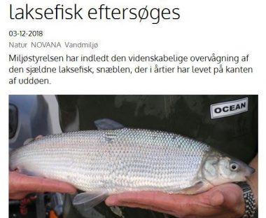 LAKSEFISK EFTERSØGES